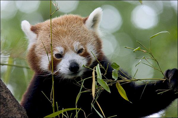 Panda Rex, Blijdorp