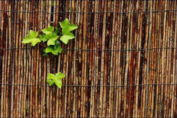 Klimop breekt door in bamboe schutting