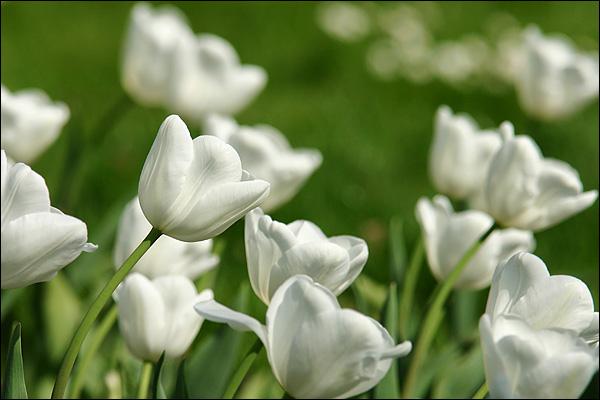 Witte tulpen in Avifauna