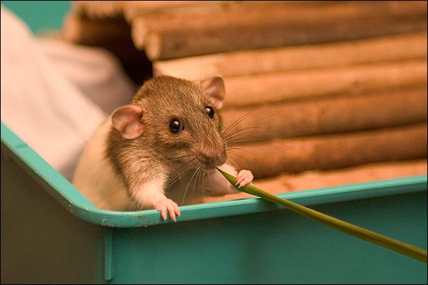 Schurfie de rat